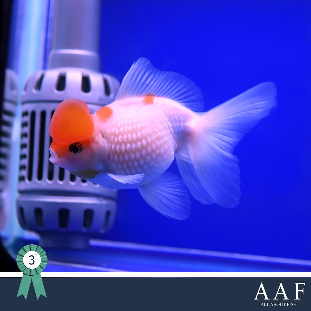ประกวดปลาเงินปลาทอง -งานมหิดลคนรักสัตว์