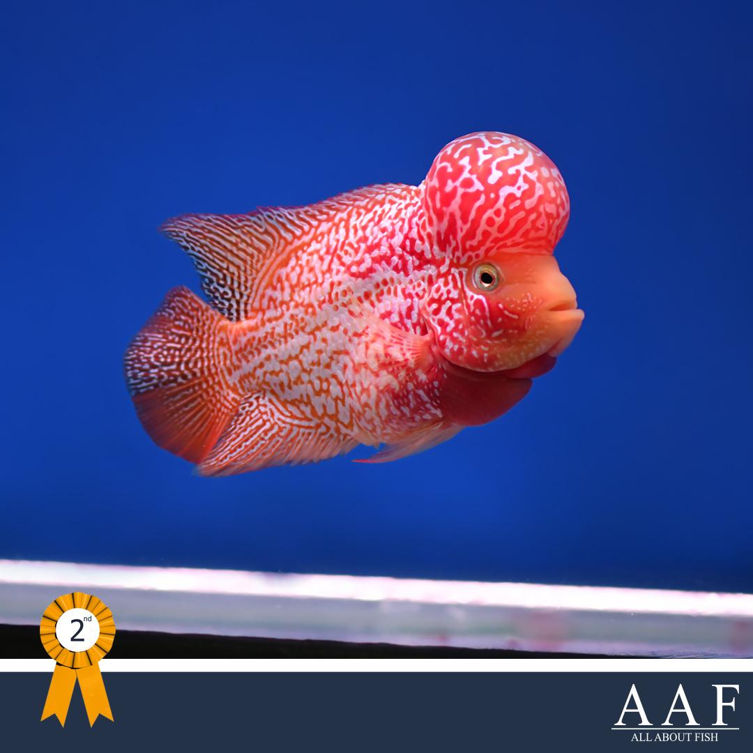 ประกวดปลาหมอสีฟลาวเวอร์ฮอร์น -งานมหิดลคนรักสัตว์