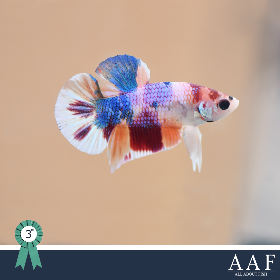 ประกวดปลากัด -งานมหิดลคนรักสัตว์