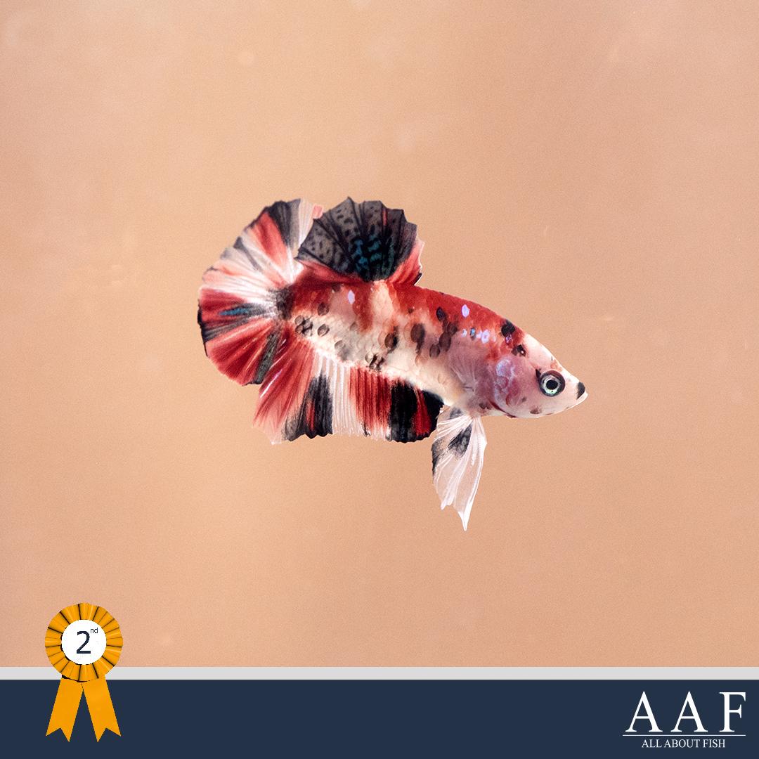 ประกวดปลากัด-งานมหิดลคนรักสัตว์