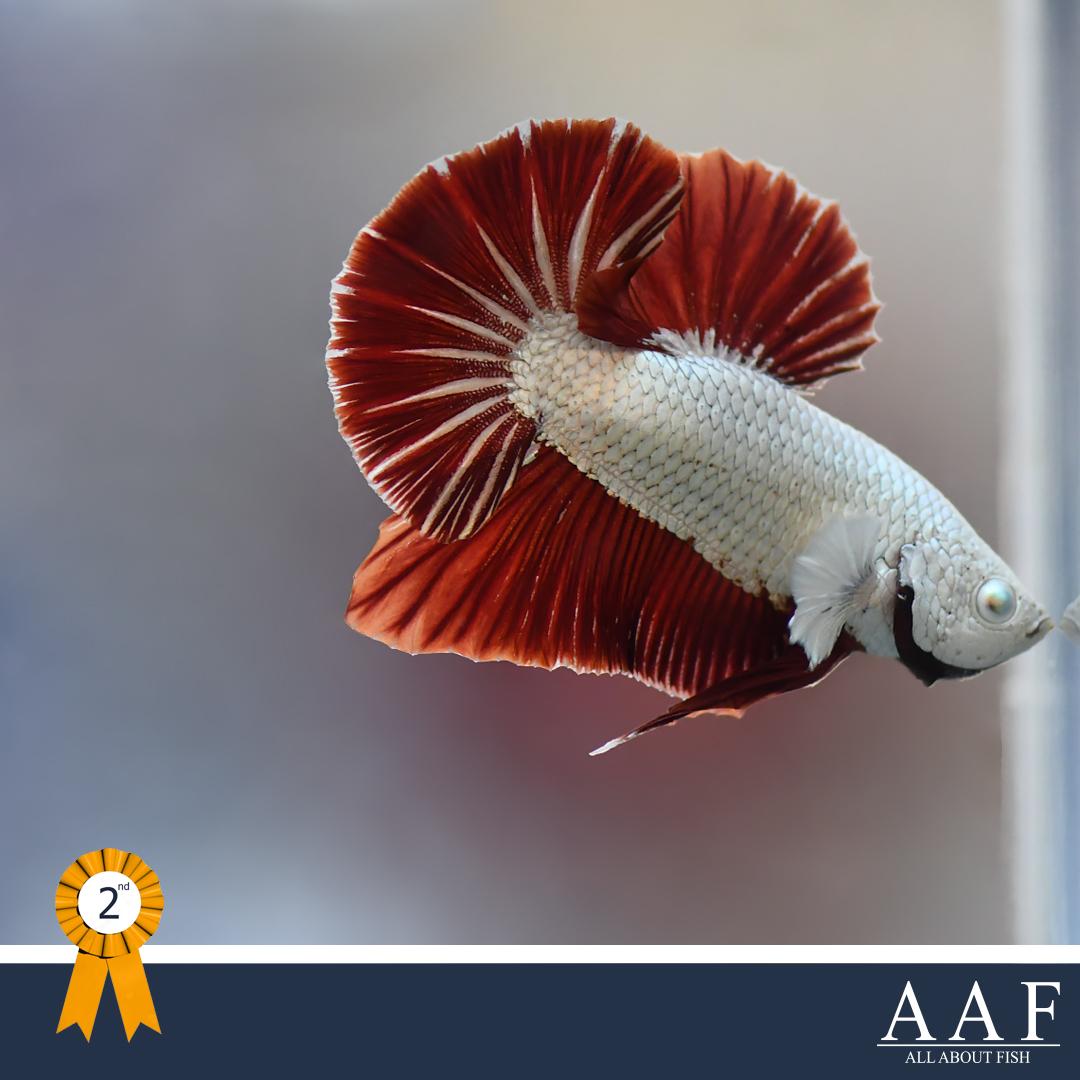 รองชนะเลิศอันดับ 1 ปลากัดครีบสั้น หางพระจันทร์ครึ่งดวง สีผสม HMPK