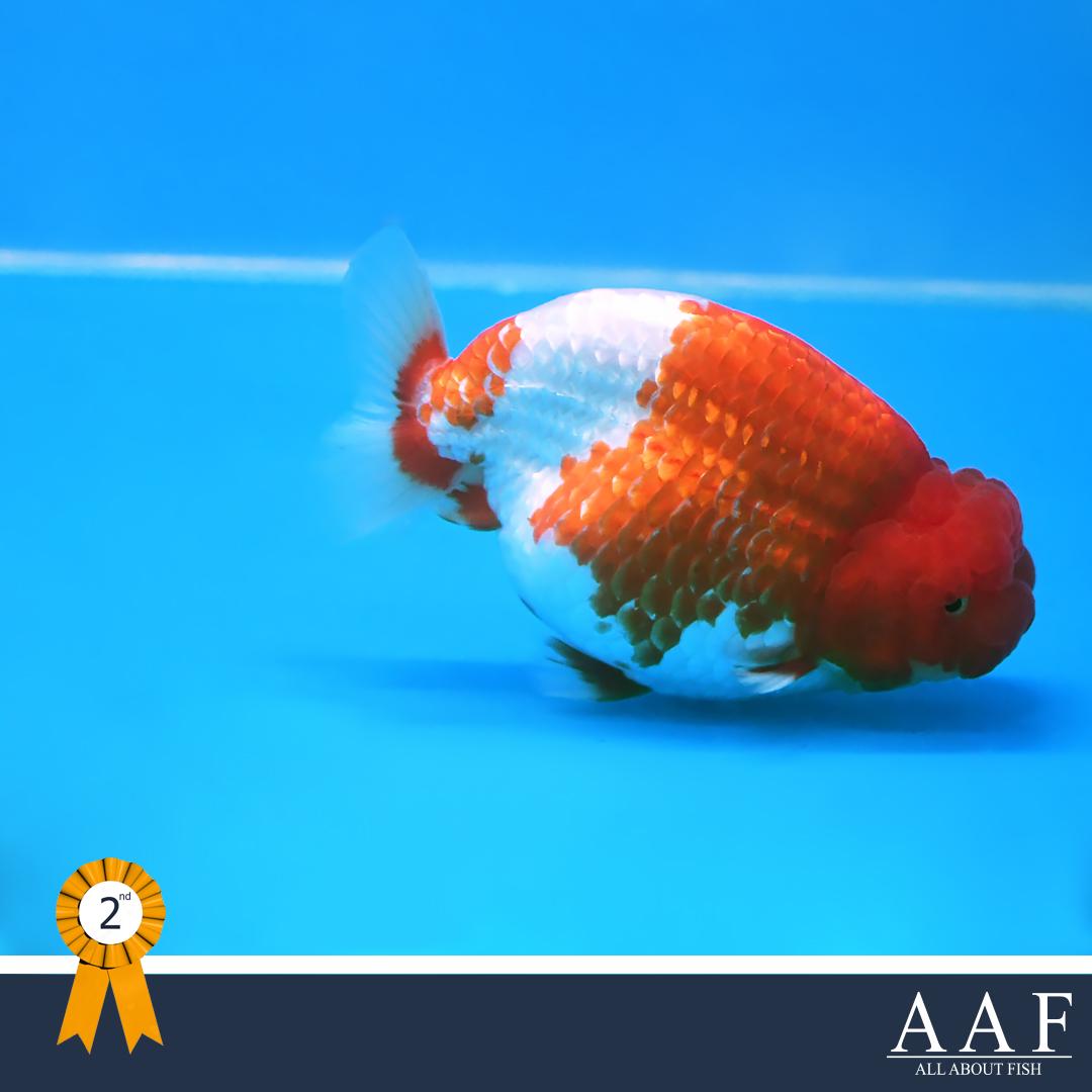 รองชนะเลิศอับดับที่ 1 สิงห์ญี่ปุ่น รุ่นใหญ่ ขนาด 5 นิ้วขึ้นไป