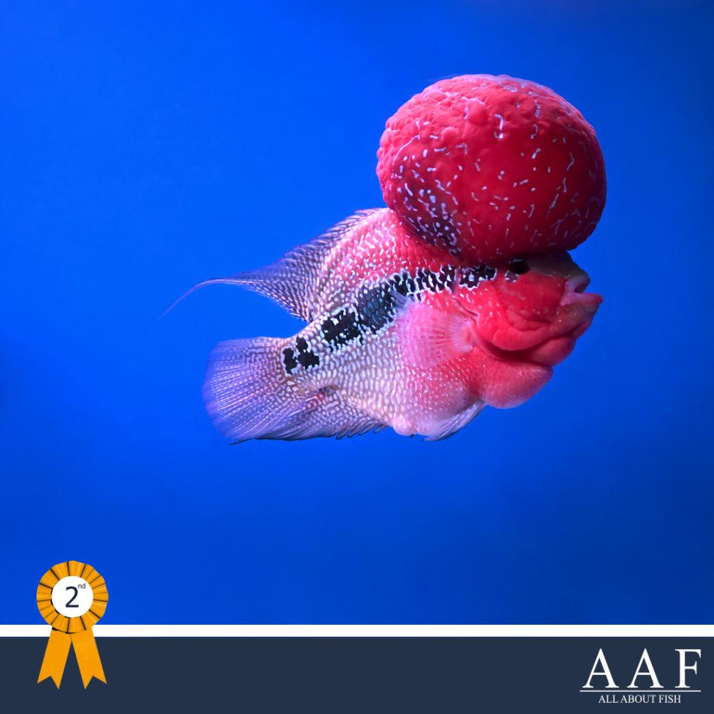 รูปปลาหมอชนะเลิศ งานสุพพรณ