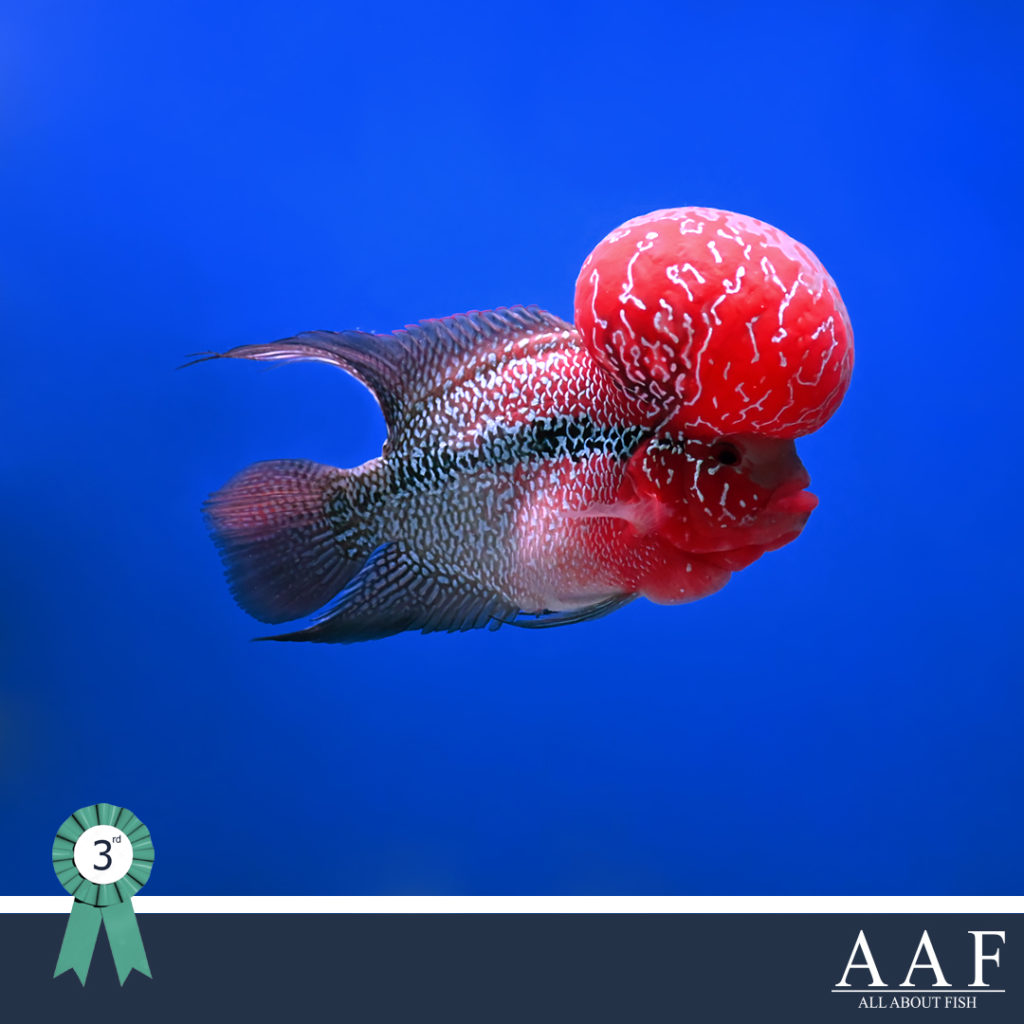 รูปปลาหมองานสุพรรณ ชนะเลิศ