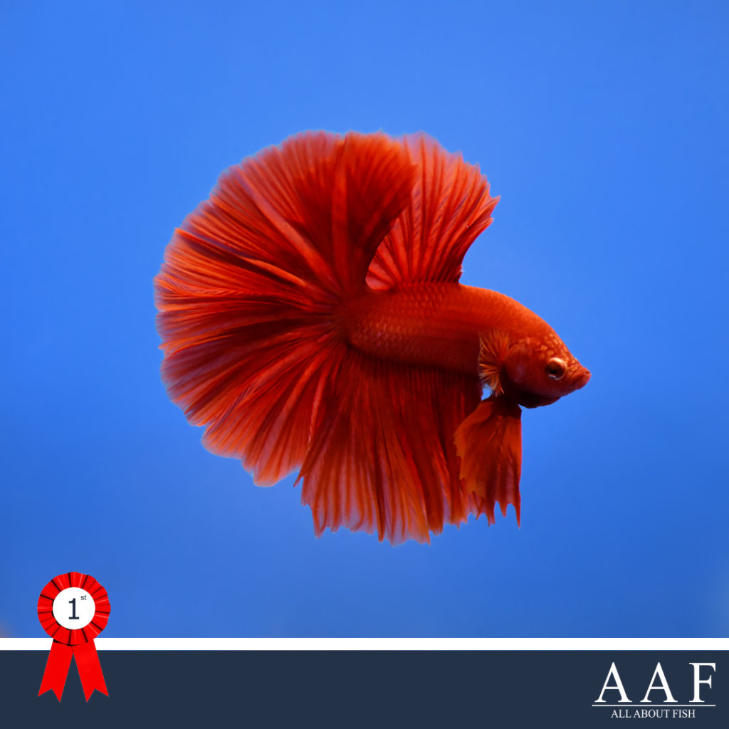 รูปปลากัดงานสุพรรณ