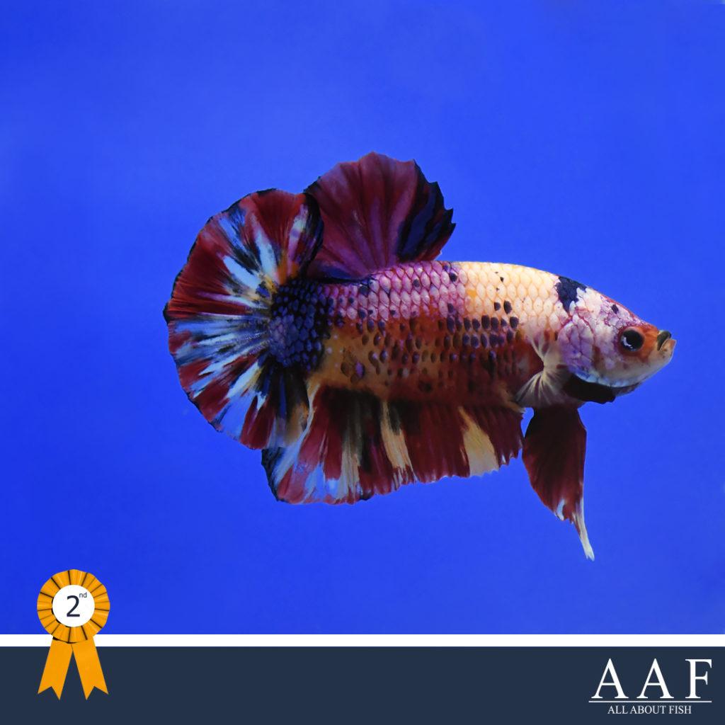 รูปปลากัดที่ได้รับรางวัลงานสุพรรณ
