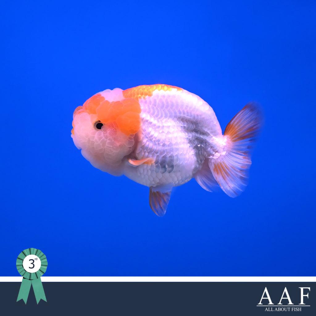 ประกวดปลาทอง สุพรรณ