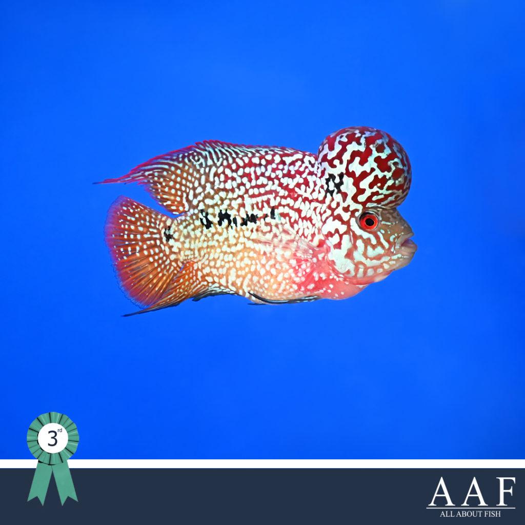 รูปปลาหมอที่ได้รับรางวัลงานสุพรรณ