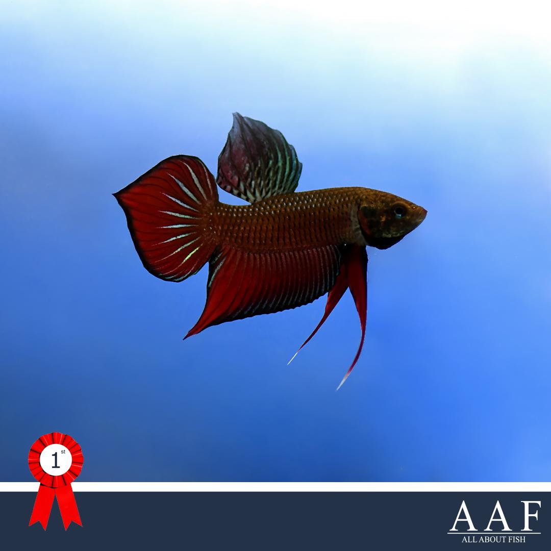 ประกวดปลากัด งานประมงน้อมเกล้า 2019