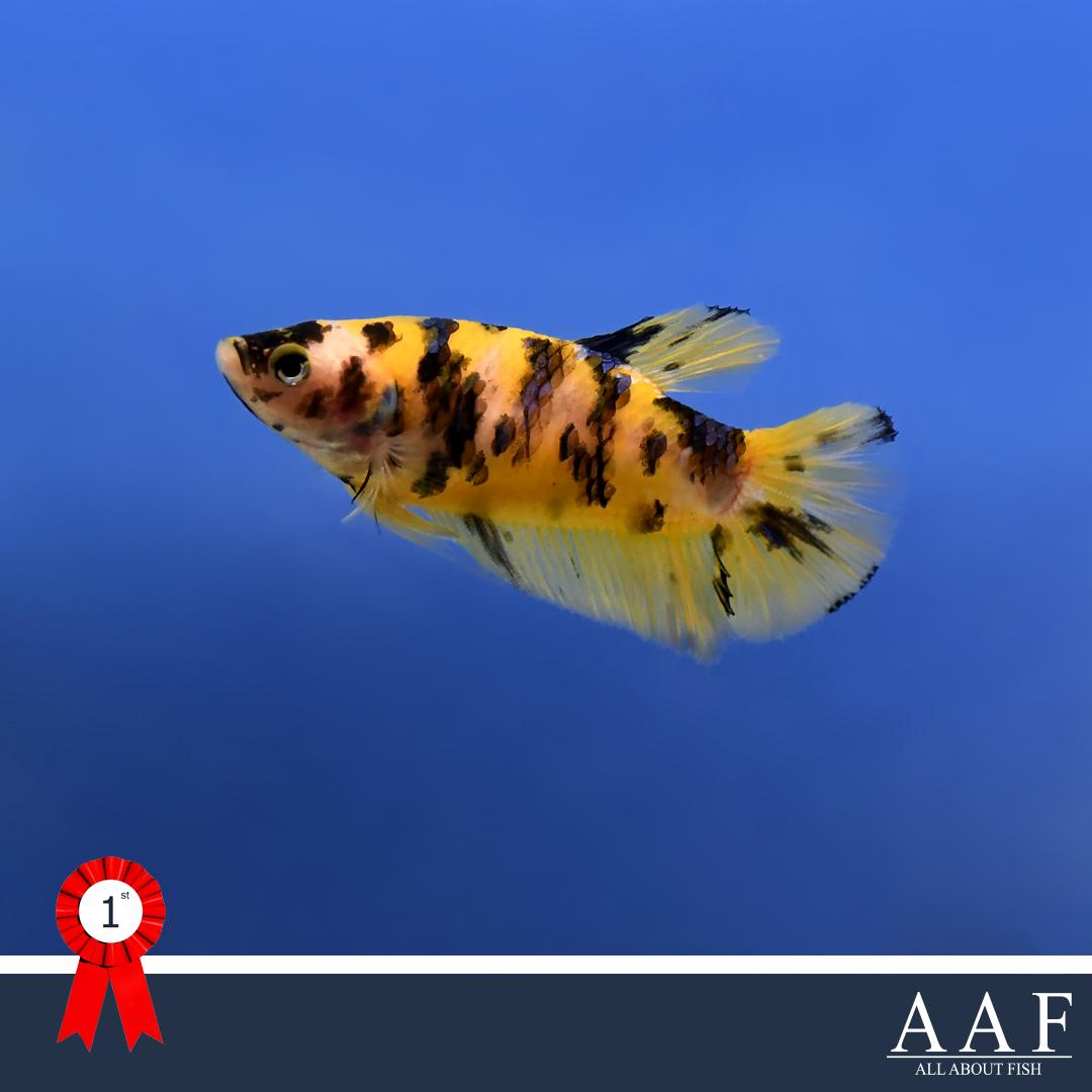 รูปปลากัด ประมงน้อมเกล้า 2019