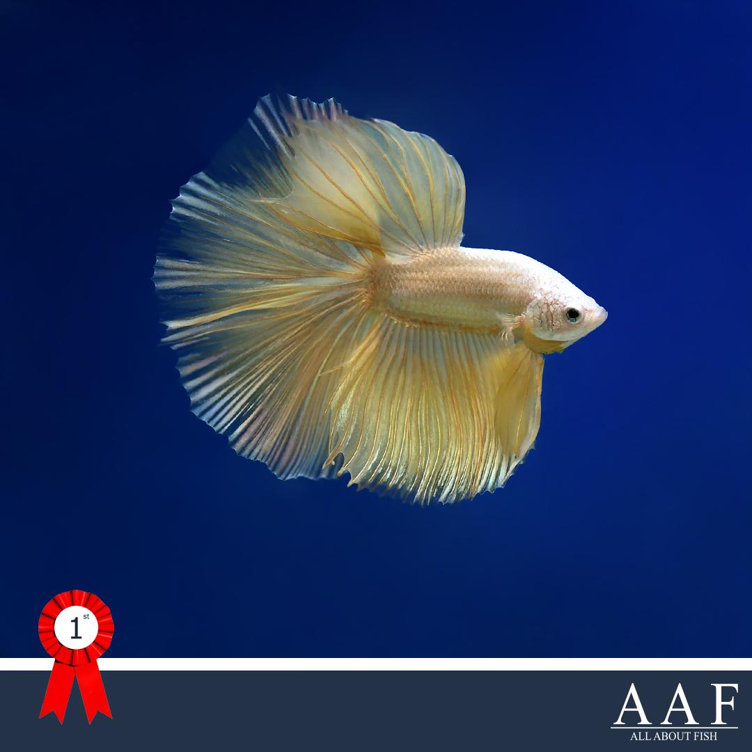 รูปปลากัด ที่ได้รับรางวัล ประมงน้อมเกล้า 2019