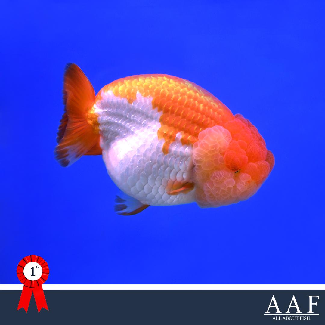 ประกวดปลาทอง ประมงน้อมเกล้า 2019