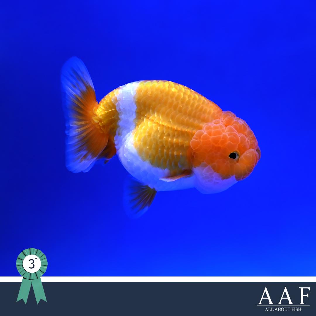 รูปปลาทองที่ได้รับรางวัล งานประมงน้อมเกล้า