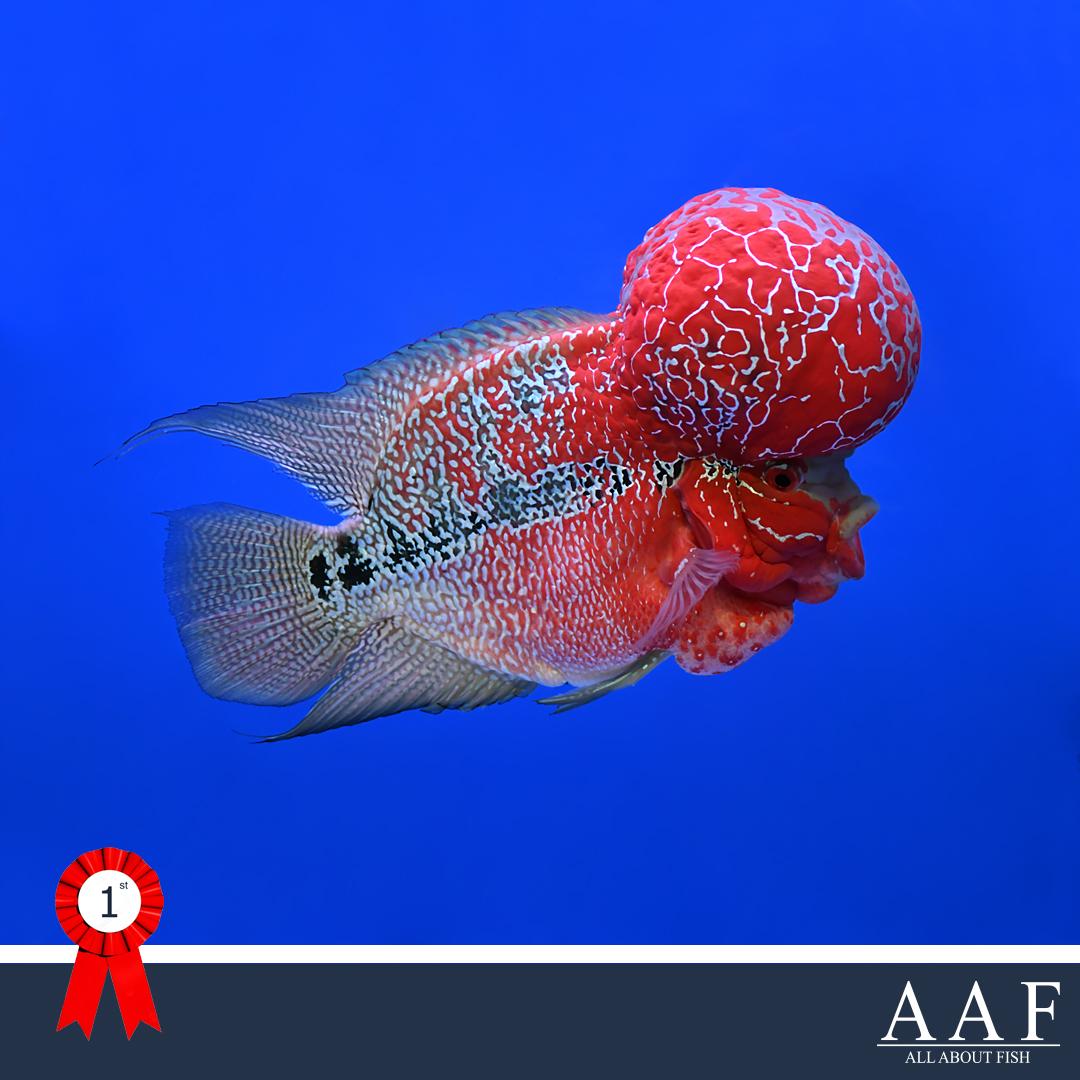 รูปปลาหมอ ที่ไ้ด้รับรางวัล งานประมงน้อมเกล้า 2019
