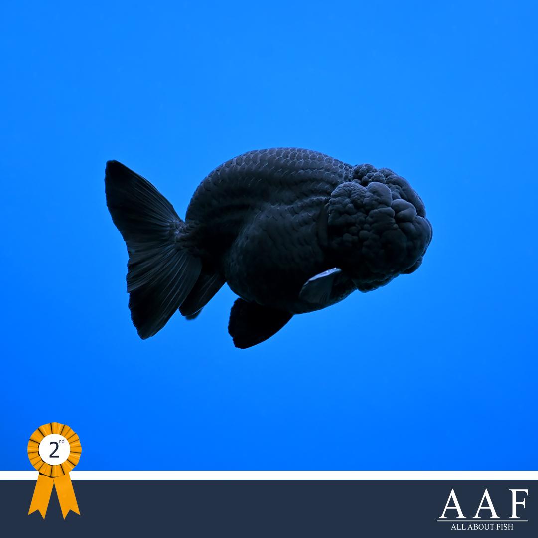 รูปปลาทองที่ได้รับรางวัลงานประมงน้อมเกล้า