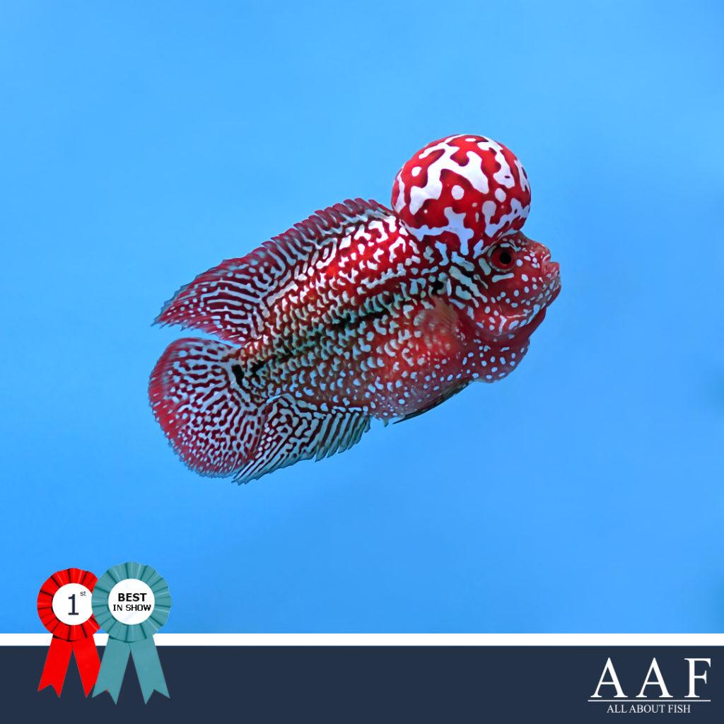 รูปปลาหมอที่ได้รับรางวัลงานประมงรวมใจ ครั้งที่ 3