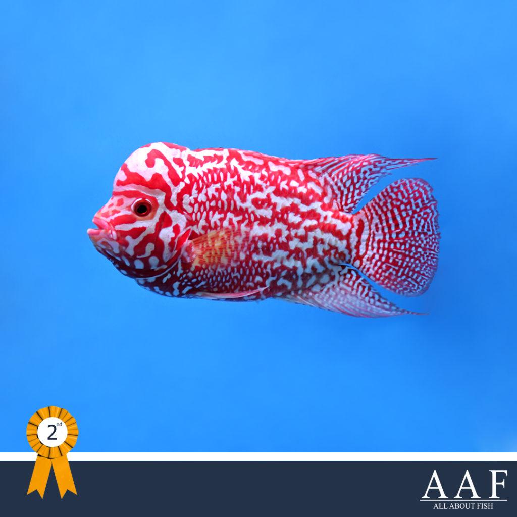 รูปปลาหมอที่ได้รับรางวัล งานประมงรวมใจ ครั้งที่ 3 ปี 2562