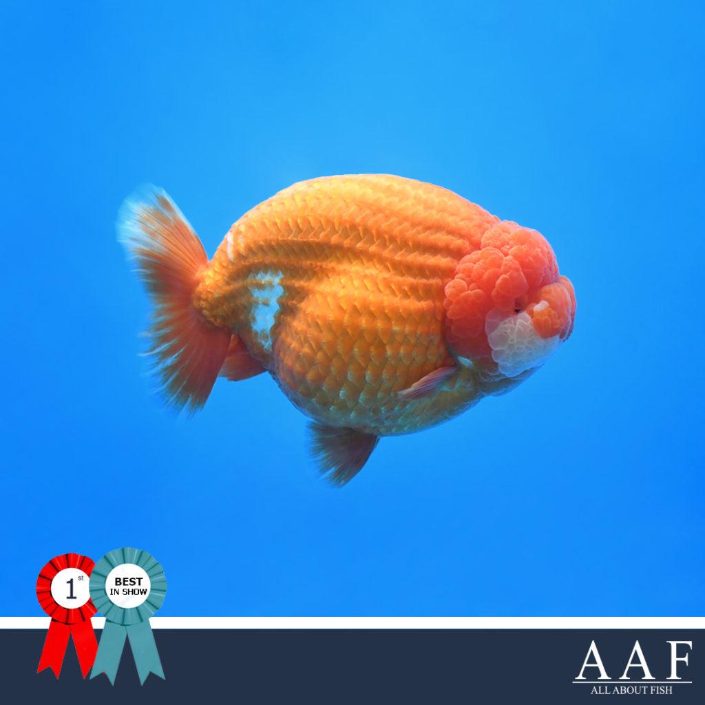 รูปปลาทองที่ได้รับรางวัล งานประมงรวมใจภักดิ์ ครั้งที่ 3