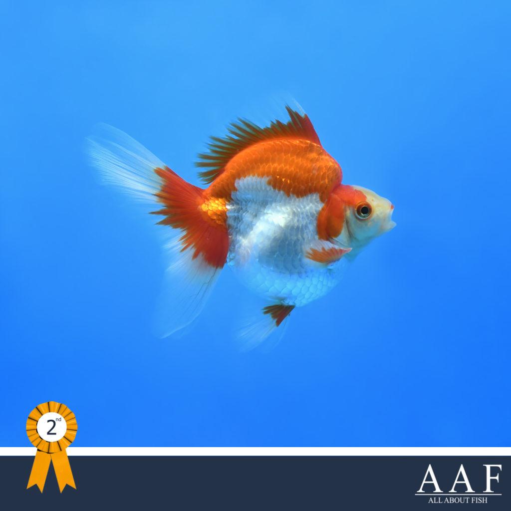 รูปปลาทองที่ได้รับรางวัล งานประมงรวมใจภักดิ์ 2562