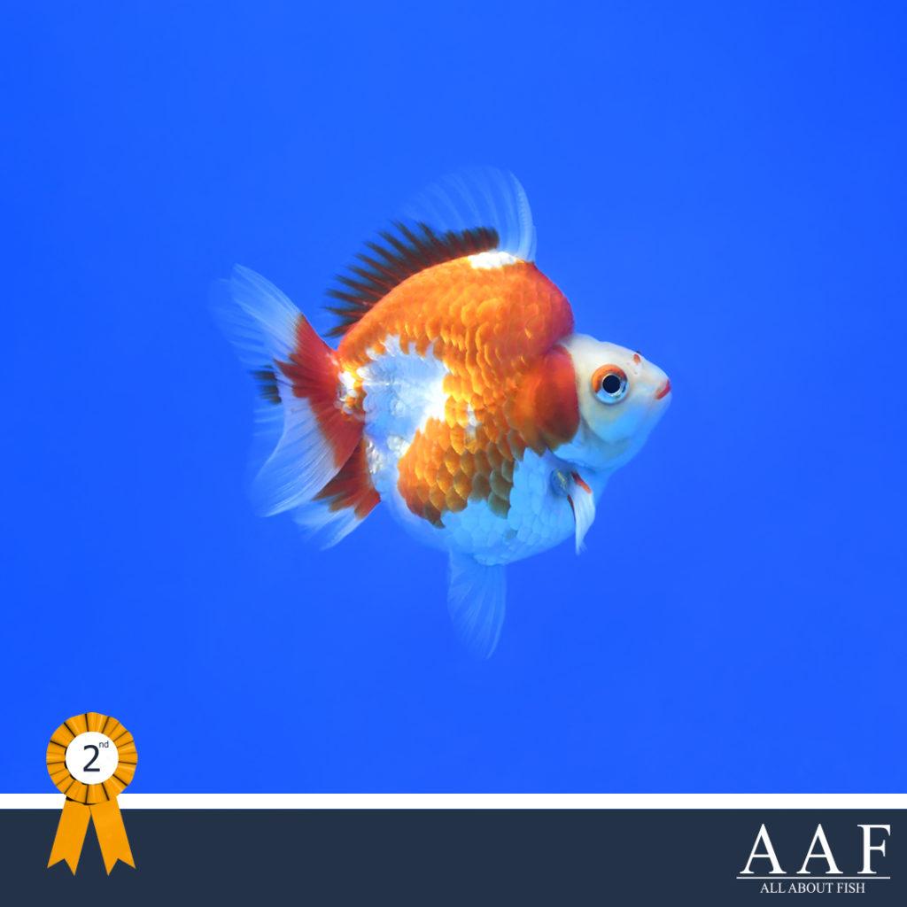 รูปปลาทองที่ได้รับรางวัล ริวกิ้นหางสั้น งานประมงรวมใจภักดิ์ 2019