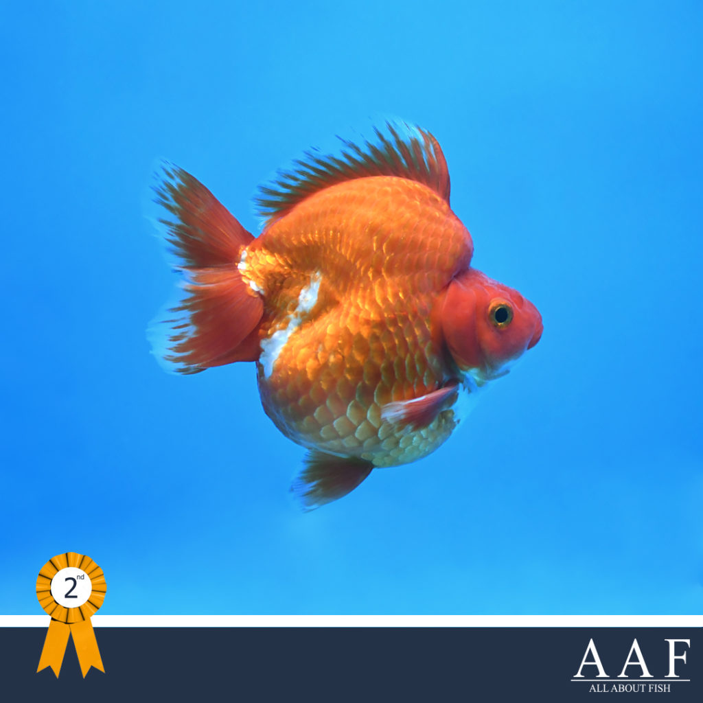 รูปปลาทอง ริวกิ้น รุ่นใหญ่ ขนาด 3.5 นิ้วขึ้นไป