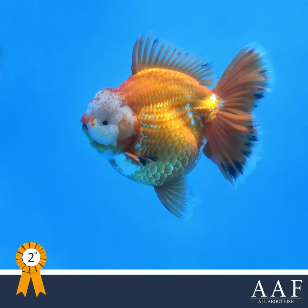 รูปปลาทองที่ได้รับรางวัล งานประมงรวมใจ 2019