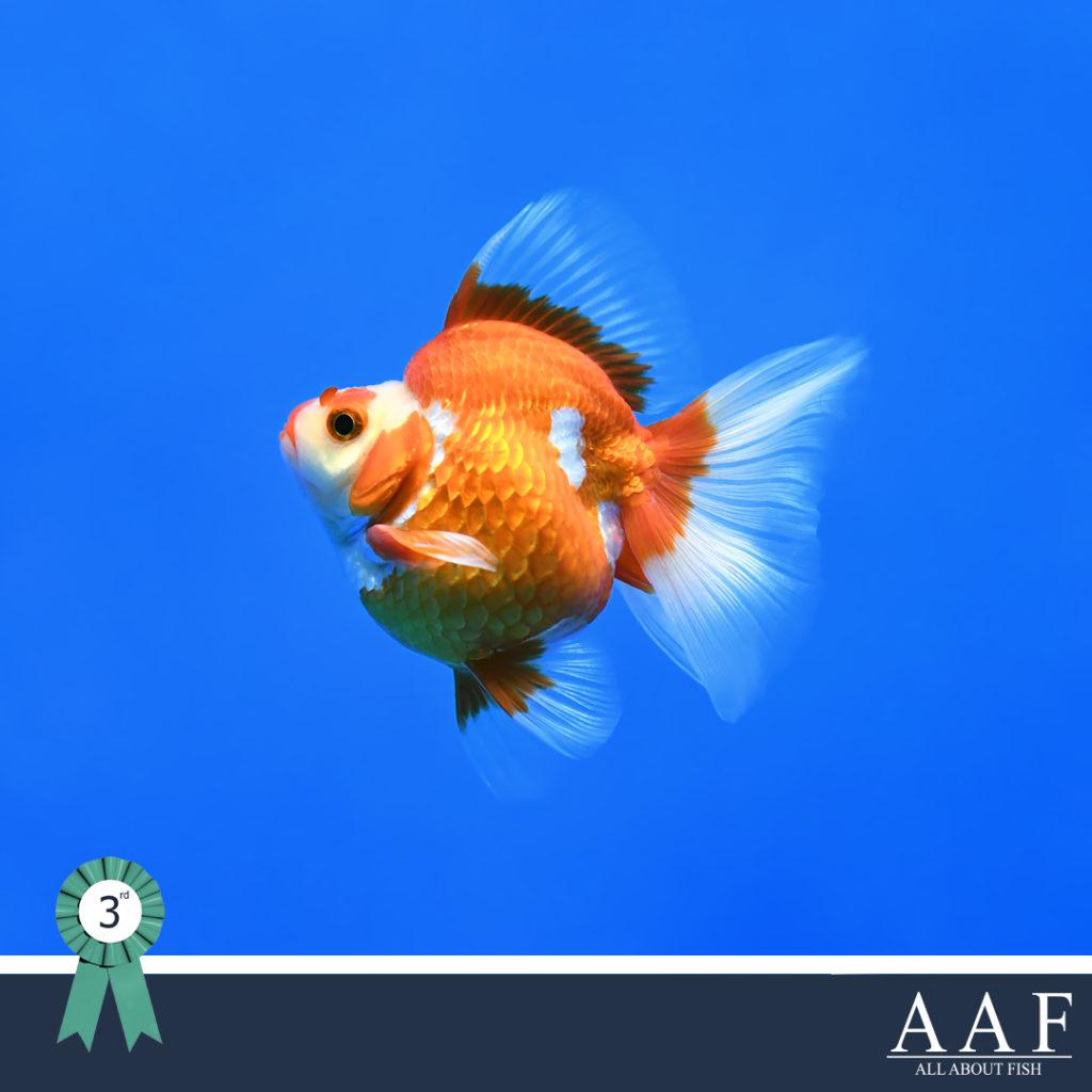 รูปปลาทองที่ได้รับรางวัล ริวกิ้น งานประมงรวมใจภักดิ์ 2019