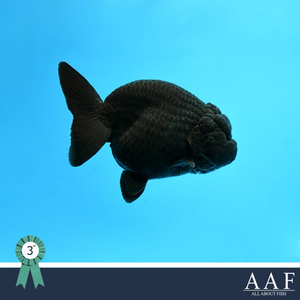 รูปปลาทองที่ได้รับรางวัล งานประมงรวมใจภักดิ์ 2019