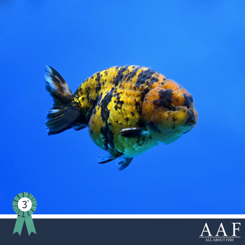 ประกวดปลาทอง งานประมงรวมใจ 2019