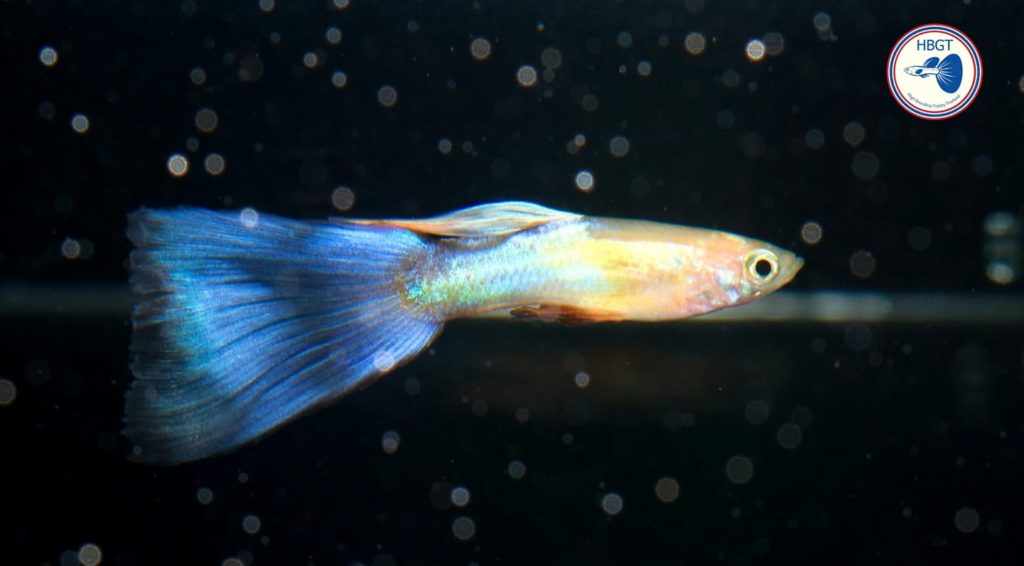 Fan Tail Guppy