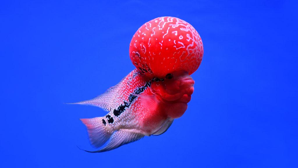 การเลี้ยงปลามงคล