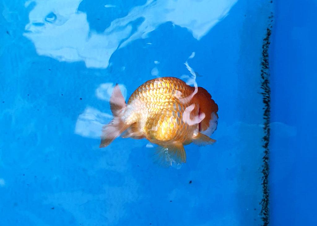 ปลาทองหงายท้อง