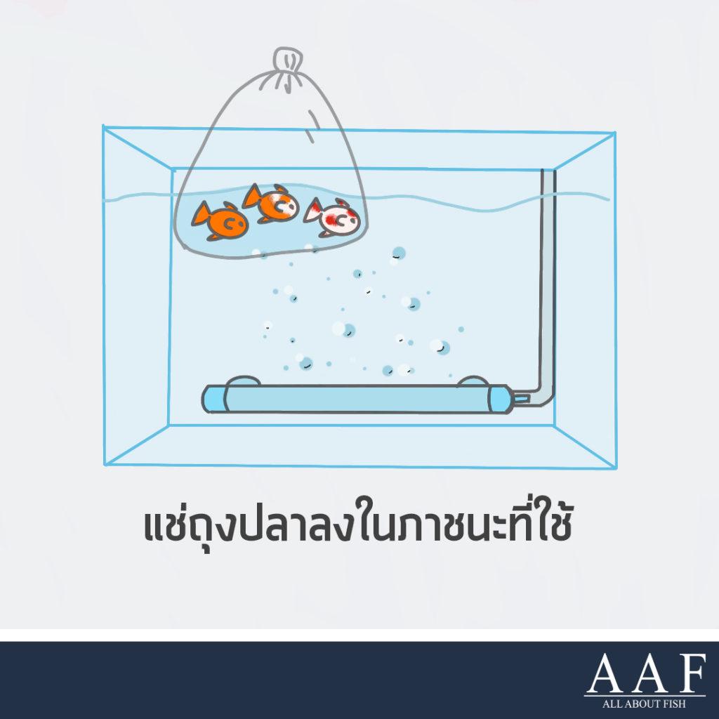 การปล่อยปลาใหญ่ลงตู้