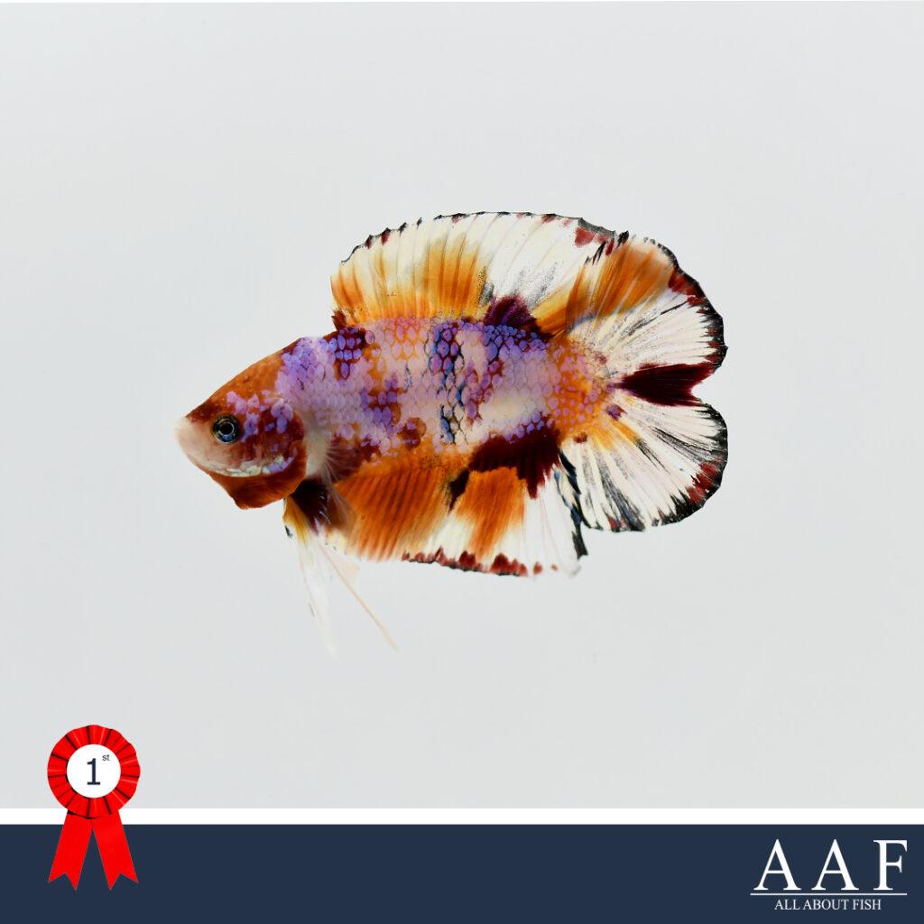 งานปลากัดโลก