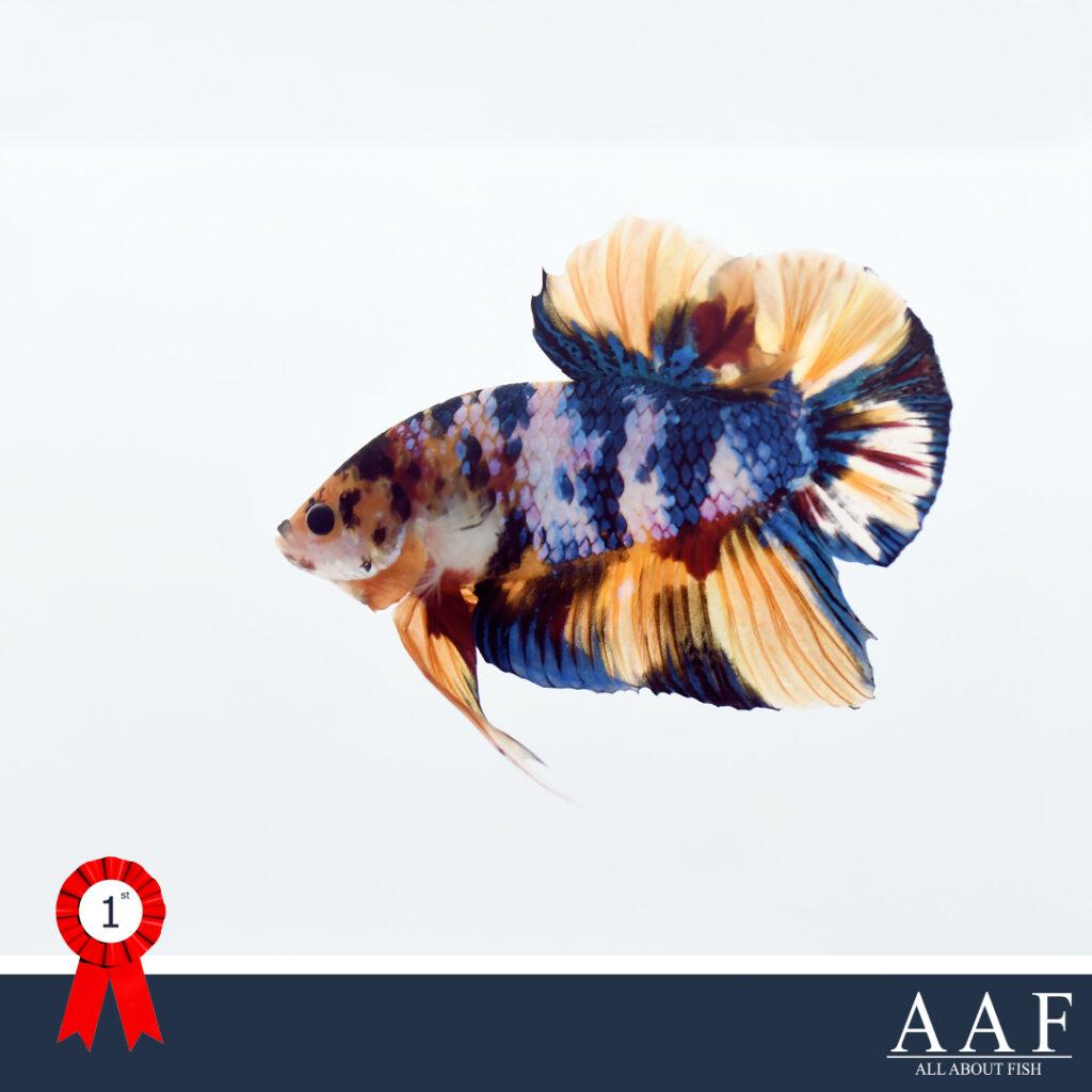 รูปปลากัดที่ได้รับรางวัล งานปลากัดโลก