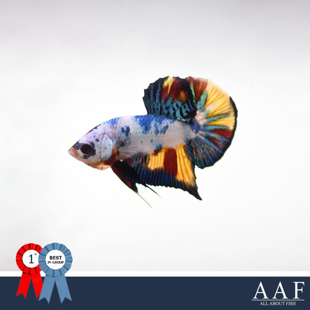 ปลากัดที่ได้รับรางวัล