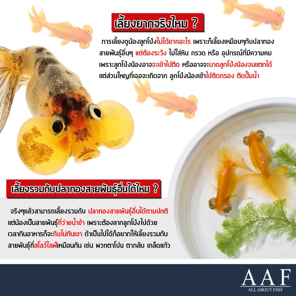 ปลาทองลูกโป่ง